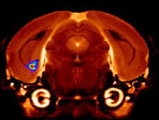 MRI scan on mouse