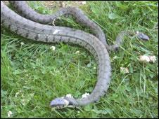 Grass snakes