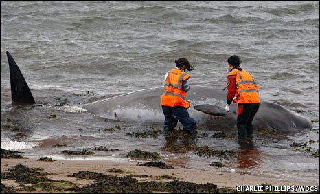One of the stranded whales