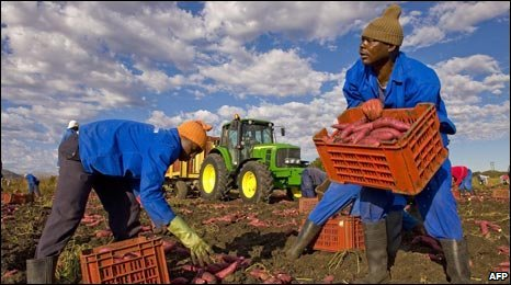 Employees dig up sweet potatoes in a farm near Pretoria, South Africa