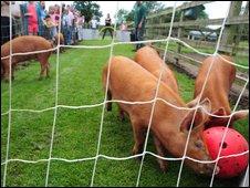Pig football