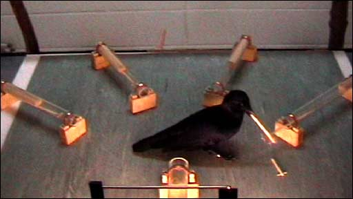 New Caledonian crow (Behavioural Ecology Group)