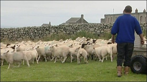 Sheep and farmer on Lundy Island