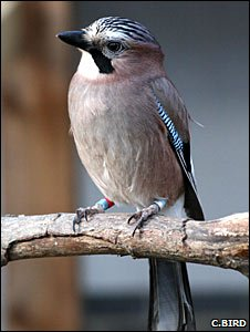 Eurasian jay (Christopher Bird)