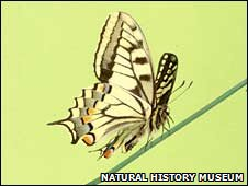 Swallowtail butterfly (Natural History Museum)