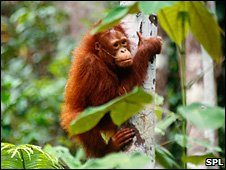Bornean orangutan (SPL)