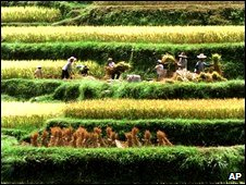Rice farmers in China's Guangxi province