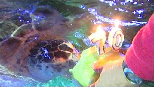 Lulu the giant sea turtle