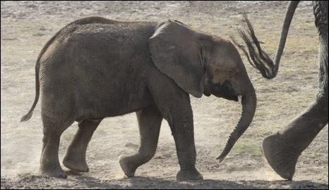 Juvenile elephant (BBC)