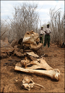 Elephant remains (BBC)