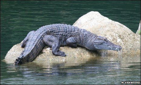 Philippine crocodile - photo#4