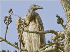 Slender billed vulture