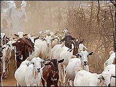 Goats in Kenya