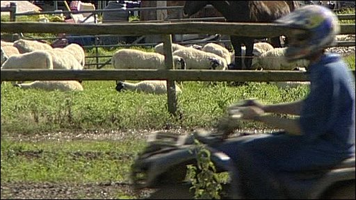 Quad biker rides past pen of sheep