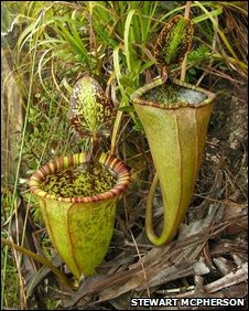 Pitcher plant in Palawan