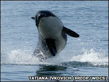 Killer whale in the Avacha Gulf
