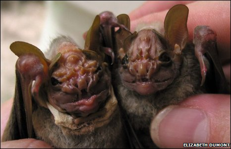 Wrinkle-faced bats (Elizabeth Dumont)