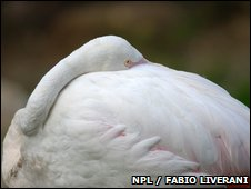 European Flamingo (Phoenicopterus ruber roseus) resting, with beak nestled in feathers