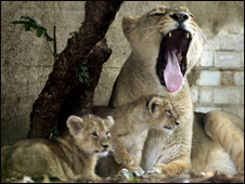 Asian lion Abi with her two cubs at London Zoo (Getty Images)