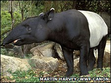 Malayan Tapir, photo by Martin Harvey/WWF-Canon