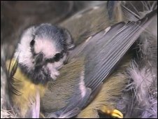 Blue tit in nest