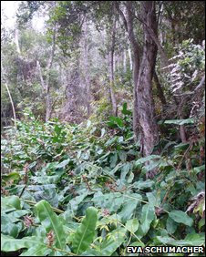 Kahili ginger (Hedychium gardnerianum) growing in Hawaii lowland forest