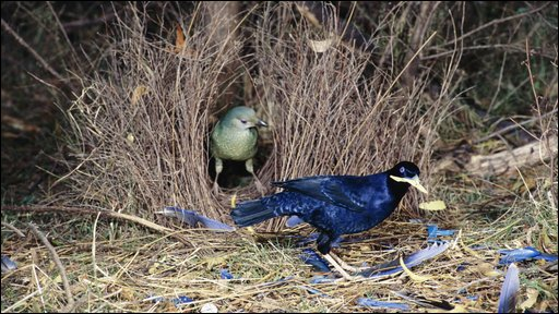A male satin bowerbird impresses a female