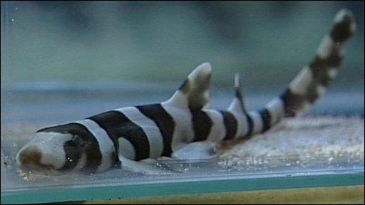 Baby bamboo shark