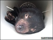 Tasmanian devil in a trap (Image: Rodrigo Hamede)