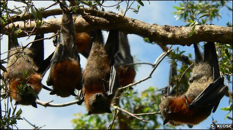 Grey-headed flying foxes (Stefan Klose)