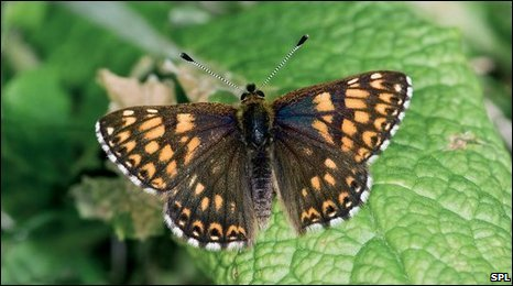 Duke of Burgundy (SPL)