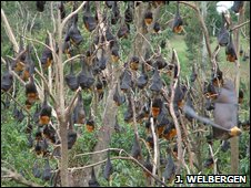 Flying fox colony (Justin Welbergen)