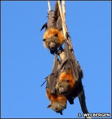 Grey-headed flying foxes (Justin Welbergen)