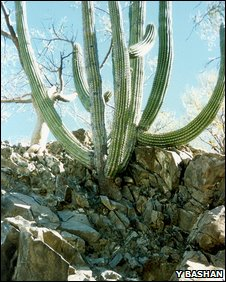 Cactus species growing in Baja, California