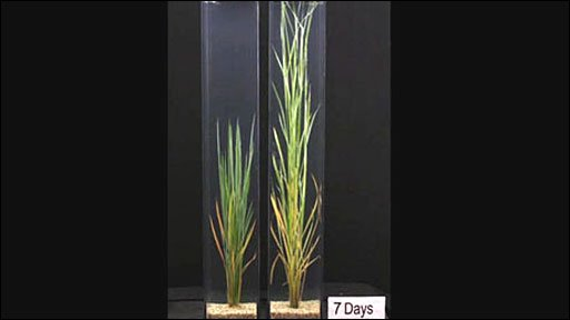 The rice (on right) showing growth after seven days in water