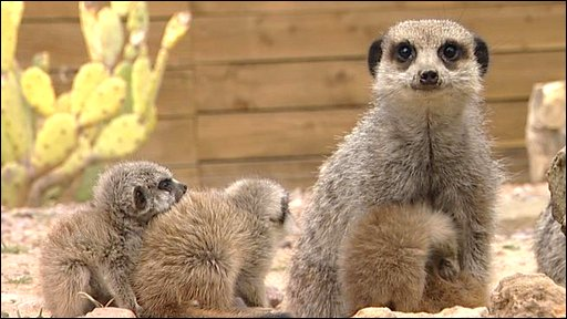 Meerkats at Yorkshire Wildlife Park in Doncaster