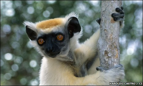 A golden-crowned sifaka (Propithecus tattersalli)