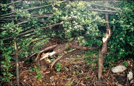 Phoenix hedge in 1991