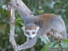 Crowned lemurs (Eulemur coronatus) 