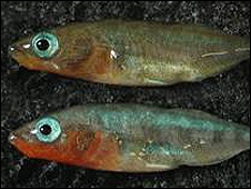 Three-spined stickleback fish