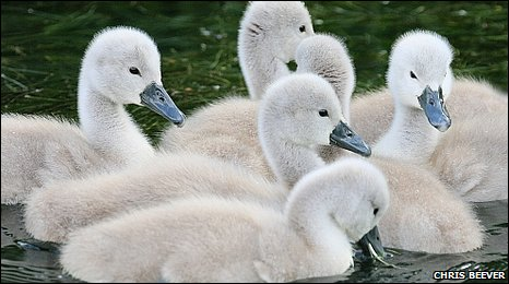 Mute swans can live up to 20 years