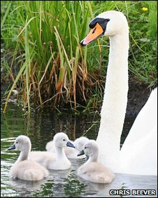 Swans are mainly vegetarian but they do often eat small fish and insects