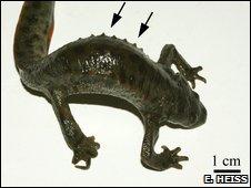 Spanish ribbed newt (Pleurodeles waltl)