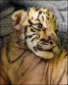 Tumka tiger cub