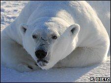 Polar bear (R. Dietz)