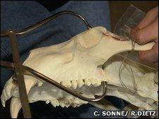 Polar bear skull (R. Dietz/ C. Sonne)