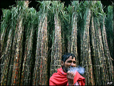Sugarcane field in India