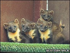 The four pine martens