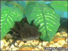 Mexican axolotl (Ambystoma mexicanum)