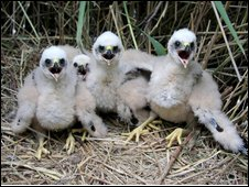 Marsh harrier chicks